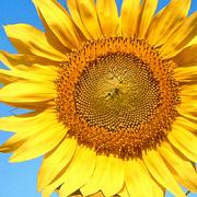 happiness-sunflower