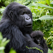 mountain-gorillas